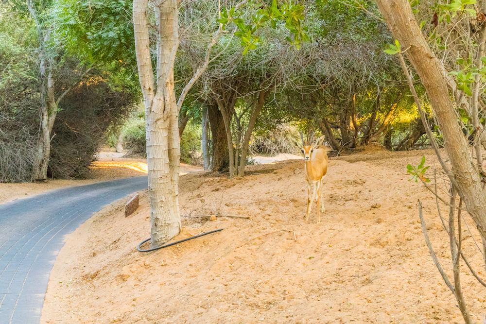 Al Maha, a Luxury Collection Desert Resort & Spa, Dubai gazelle