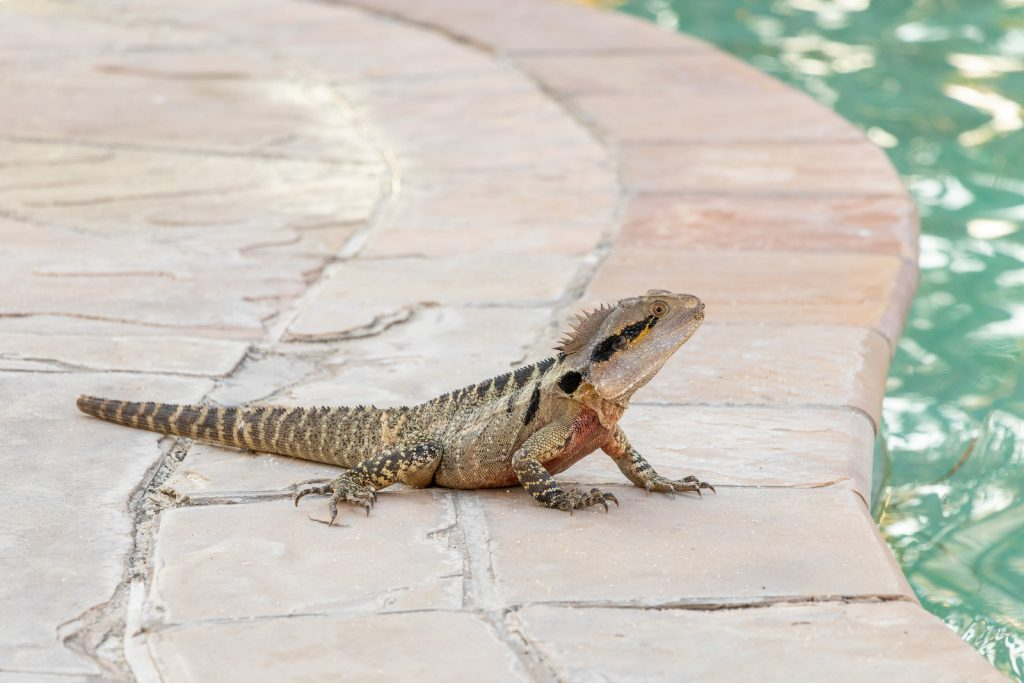 Surfers Paradise Marriott Resort and Spa reptile